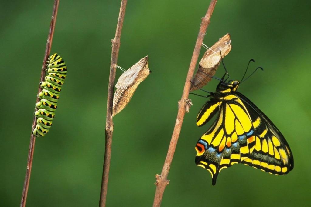 Farfalla trasformazione